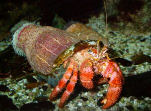 Large Red Hermit Crab with an anemone on its borrowed shell,
