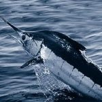 Atlantic_blue_marlin