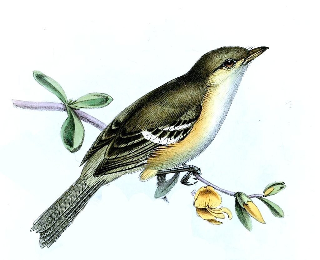 Latin name, Vireo modestus, is endemic to Jamaica and lives in forested areas.