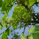 Zanthoxyllum-martinicense