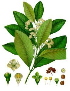 Illustration of Allspice by Franz Eugen Köhler, Köhler's Medizinal-Pflanzen