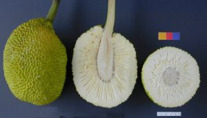 ARS_breadfruit49