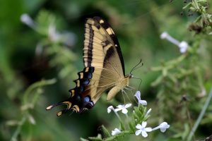 Bahaman swallowtail butterfly (Papilio andraemon) in Jamaica