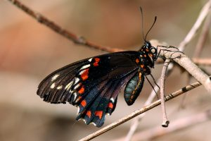Gold_rim_swallowtail_(Battus_polydamas_jamaicensis)_underside_worn_2