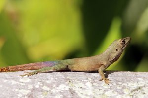 Jamaican or Turquoise Anole by Charles J Sharp