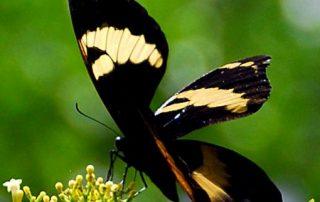 Jamaica butterflies